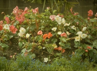 Georges Gilon, Red and white begonias  c. 1913, autochrome 9x12