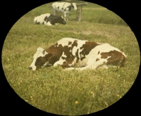 Paul Sano, Cows    c. 1913, autochrome 9 x 12