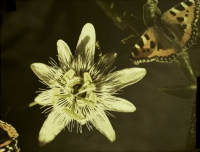 Paul Sano, Photomacrograph of passion flower and butterfly    c. 1920, autochrome 12 x 9