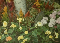 Georges Gilon, Yellow begonias  c. 1913, autochrome 9x12
